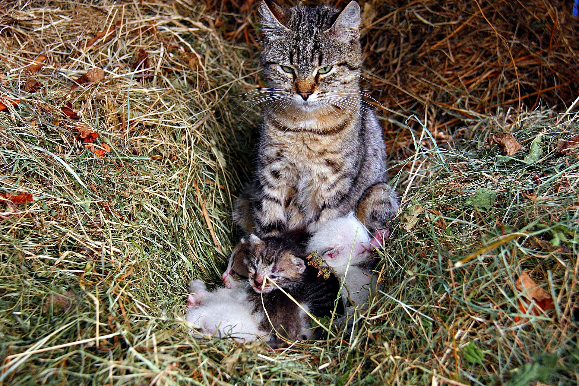 cat-heumama_kitten_1920